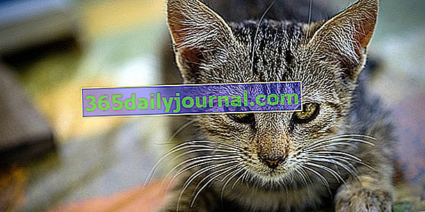 Močové kameny u koček: příčiny, příznaky a léčba