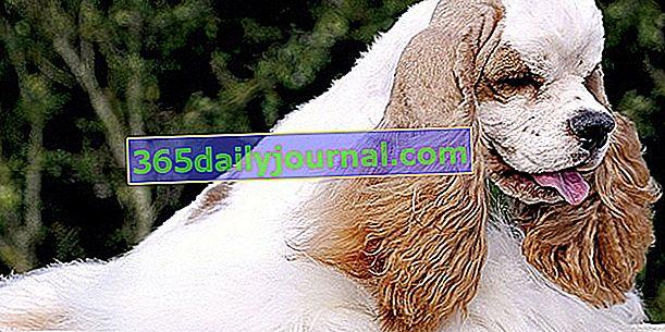 El Cocker Spaniel Americano, perro elegante, sociable y feliz