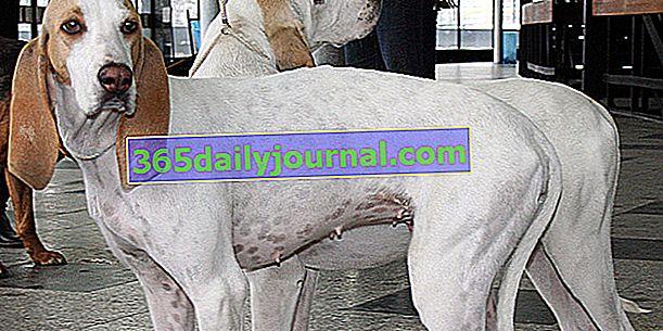 Le Porcelaine, un perro con bata blanca