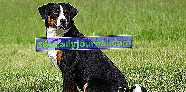Appenzell Bouvier, pes s robustním a vyváženým tělem