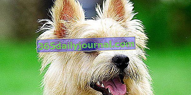 Norwichský teriér, nejmenší teriérský pes