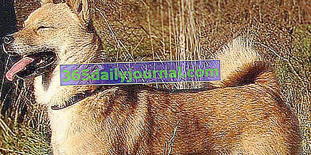 Кен Хоккайдо, рідкісна собака середнього розміру