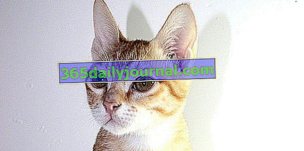 Arabec Mau, živahna, inteligentna in ljubeča mačka