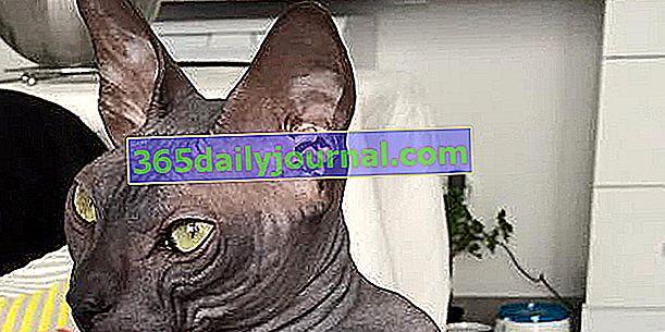Донський, рідкісний безшерстий кіт