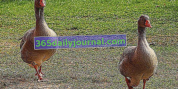 ¿Cómo criar gansos? Consejos de crianza