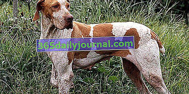 Braque de l'Ariège, насочено ловно куче