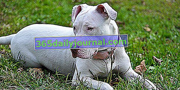 Собака-альбинос: почему, какие возможные осложнения?