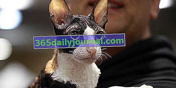 Корниш-рекс, кошка с длинным стройным телом и большими ушами.