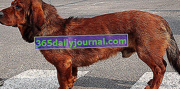 Basset des Alpes, трайно и здраво куче