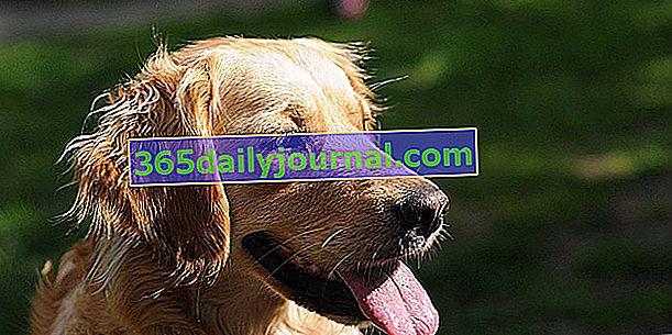 Köpek neden dilini dışarı çıkarıyor?