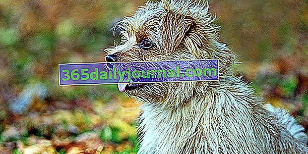 Norfolk Terrier, pies żywy i nieustraszony