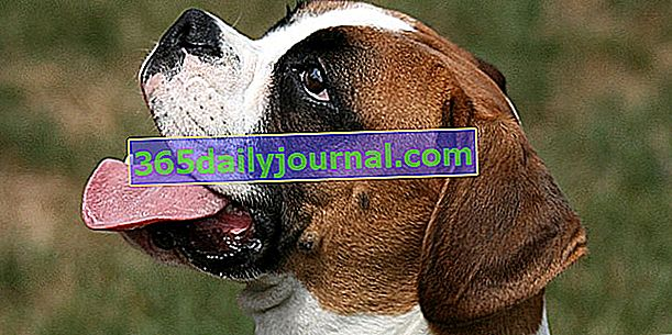 El Boxer, un perro sociable y enérgico