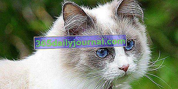 Ragdoll: идеална котка на закрито