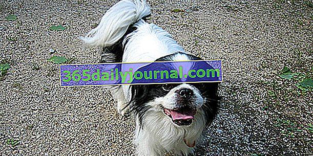 Japonski španjel, pes z velikim obrazom in prikupnim izrazom