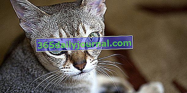 Singapur, küçük boyutuyla eşsiz kedi