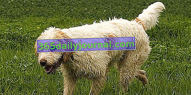 Briquet Griffon Vendéen, güçlü bir karaktere sahip köpek