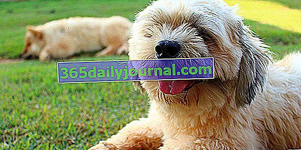 El Lhasa Apso, el perro del Tíbet