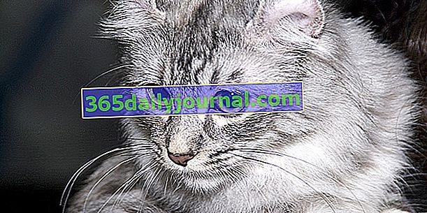 Американський локон, кішка з незвичайними вухами