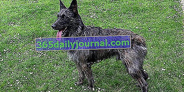 El Bouvier des Ardennes, perro rústico