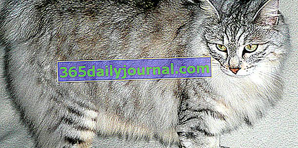 Kurilský bobtail nebo kurilský bobtail, kočka s velmi krátkým ocasem