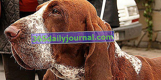 Италианският късокосмест показалец, здраво и голямо куче