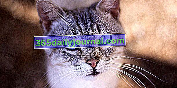Ojos Azules, mačka mekog, dirljivog i plavog pogleda