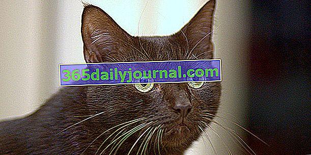 Havana Brown, el gato color chocolate