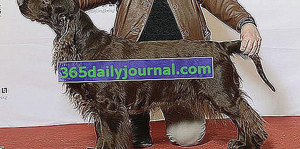 El Field Spaniel, un perro de aspecto noble