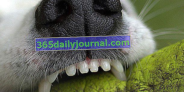 Mi perro se ha roto un diente: ¿que hacer?