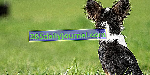 Sluh kod pasa: što pas zapravo čuje?