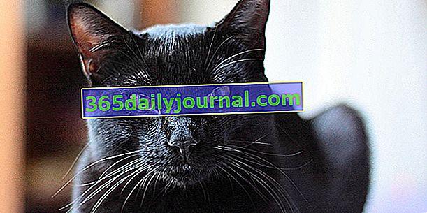 Черная кошка: суеверия, поверья, история