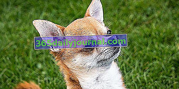 Чихуахуа или Чивава, самая маленькая собака в мире.