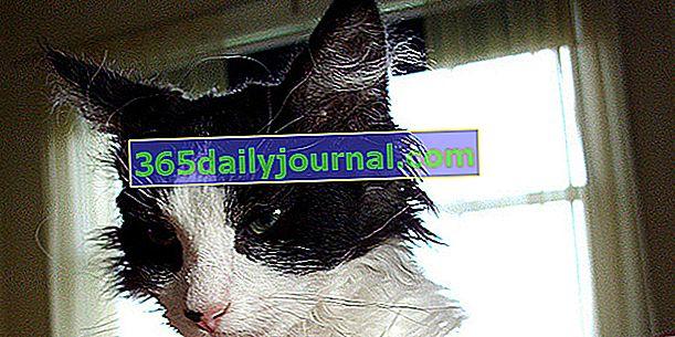 LaPerm, mačka z obilno in kodrasto dlako