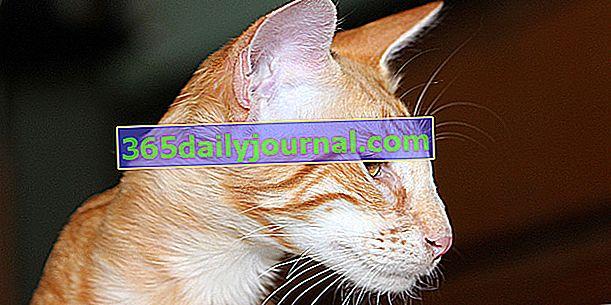 Mandaryński, Orientalny Długowłosy lub Jawajski, Kot typu Orientalnego