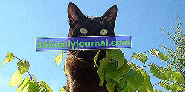 Азіатська або азіатська кішка походила від бірманців