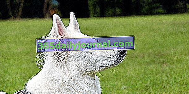 El Berger Blanc Suisse, un magnífico perro blanco de pelo medio