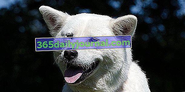 Akita Inu, perro de raza antigua, peluche real