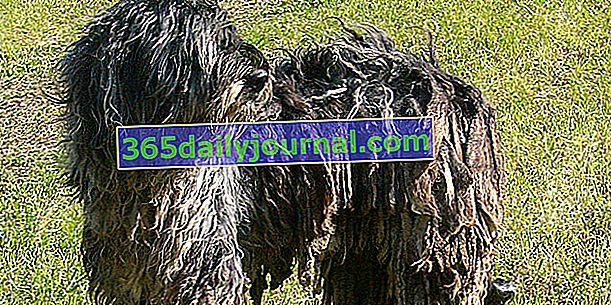 Bergamský ovčák nebo bergamský ovčák, pes s velmi dlouhou srstí