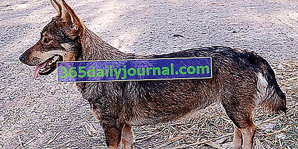 Špic Vizigota ili švedski ovčar