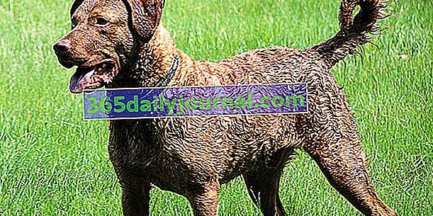 Chesapeake Bay Retriever, pies bardzo wygodny w wodzie