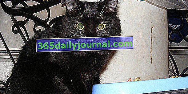 Chantilly, un gato elegante y agraciado pero raro