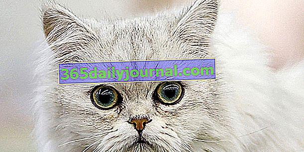 Tiffany, Tiffanie ili azijska dugodlaka mačka, srednje dlaka