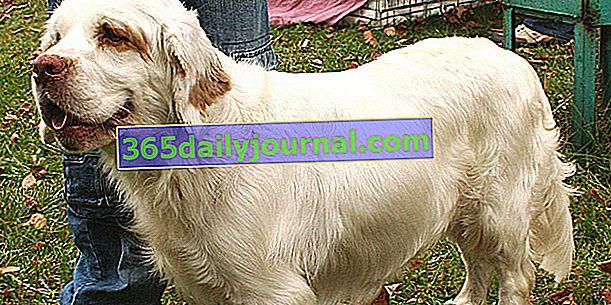 Clumber Spaniel, silný a harmonický pes