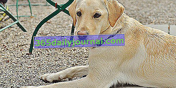 Perro detector de cáncer: ¿qué es realmente?