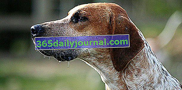 Engleski lisica, uobičajeni tip psa