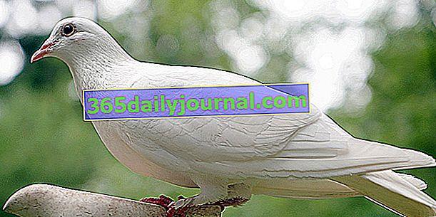 Гълъбът: коя е тя? Как да отгледате тази птица у дома?