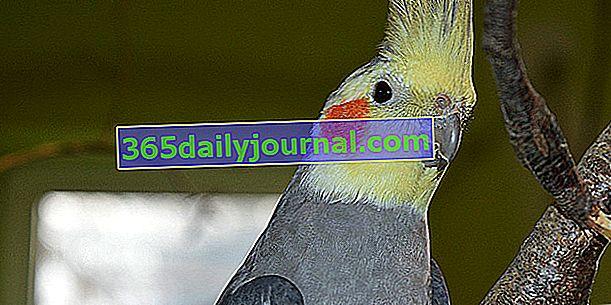 Cockatiel: как да отглеждате тази птица у дома?