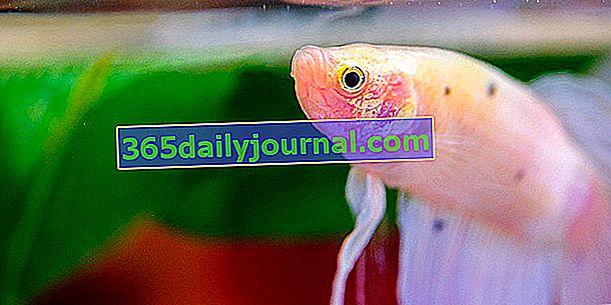 Борба с риби (Betta splendens) в аквариум, нашият съвет