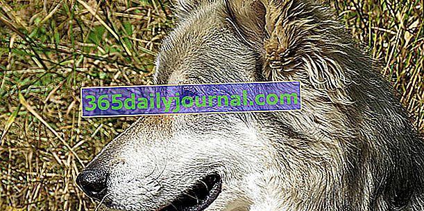 Wilczak czechosłowacki, dziko wyglądający pies