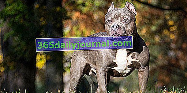 Американский хулиган, собака с мускулистым, спортивным, сложенным и мощным телом.